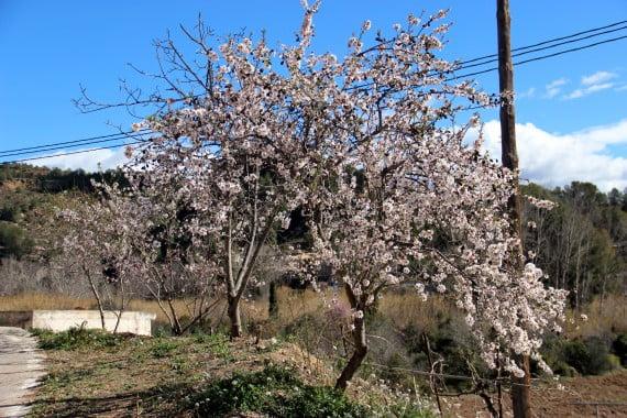 Almendro en floración
