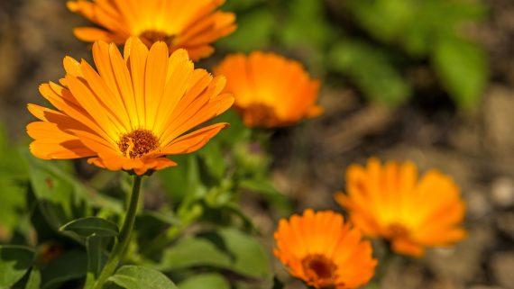 地中海金盞花種植