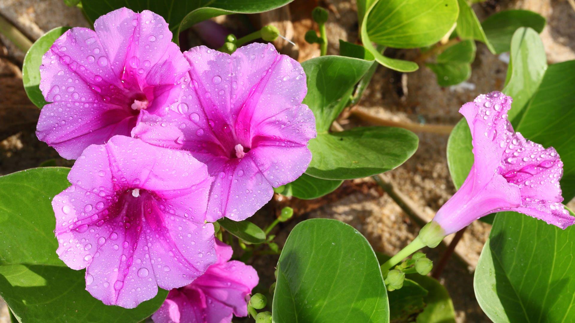 Campanillas for Como se llaman las plantas ornamentales