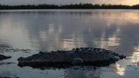 El cocodrilo de pantano: una especie común en las lagunas de Belice