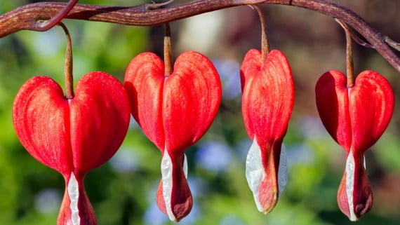 Bleeding heart flower or dicentra