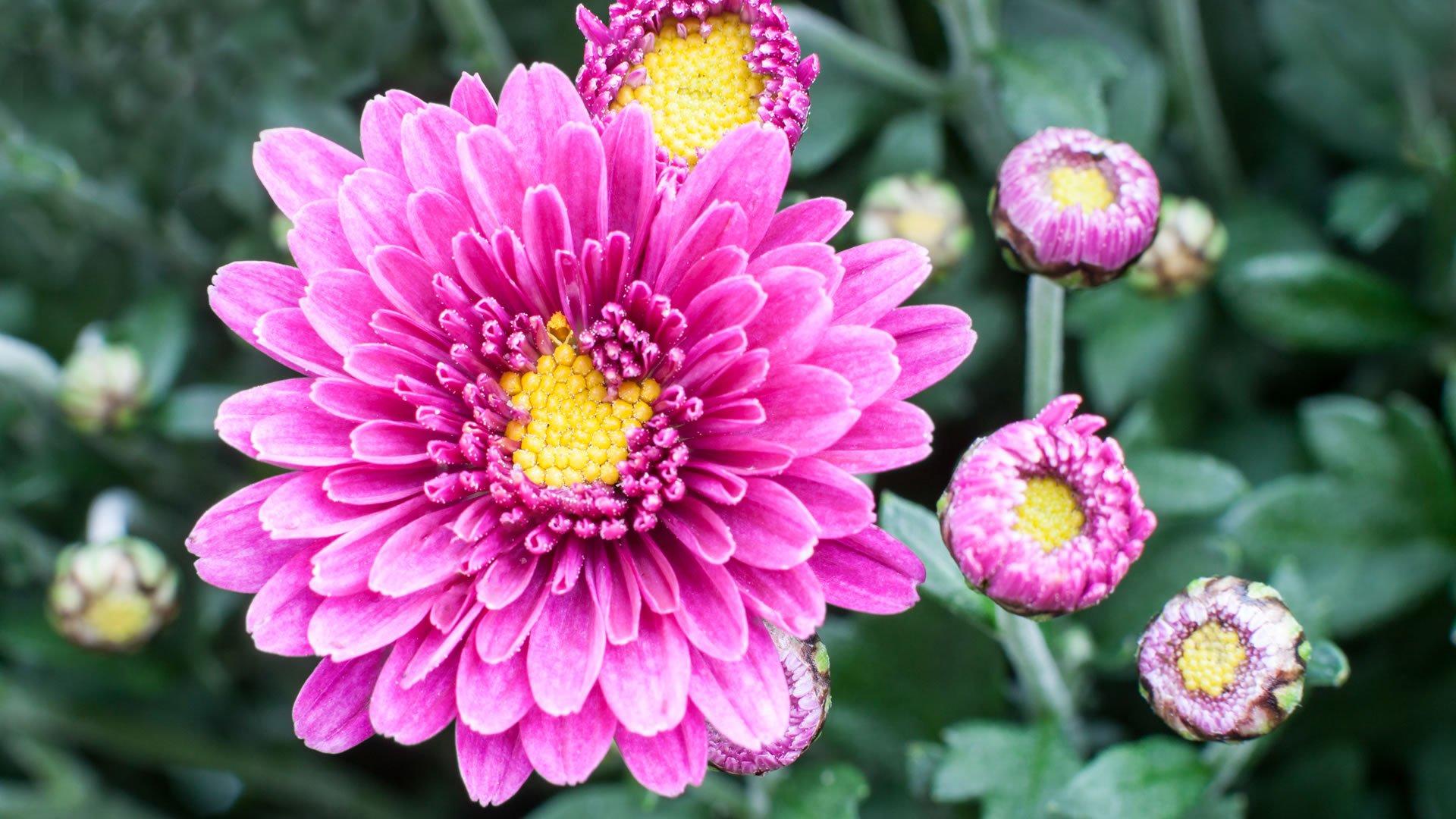 Crisantemo - Plantas bonitas de interior ...