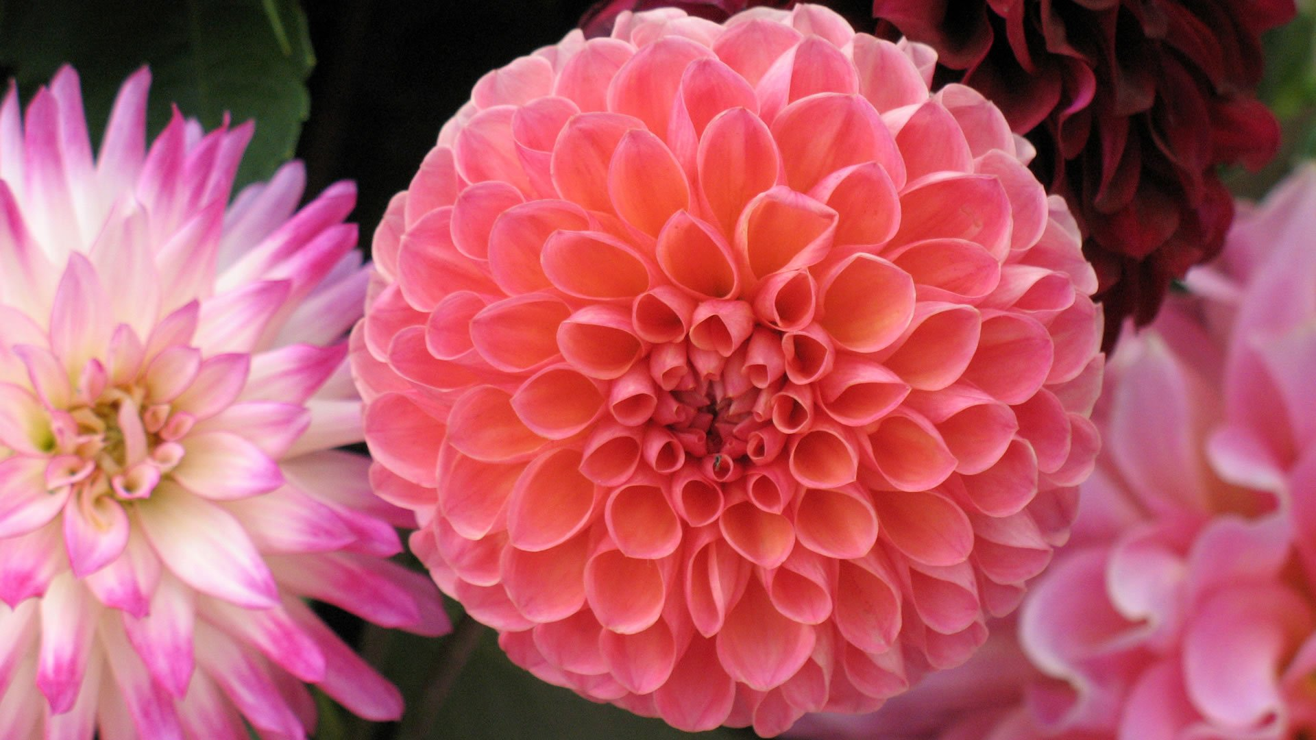 Dalia for Las plantas mas bonitas