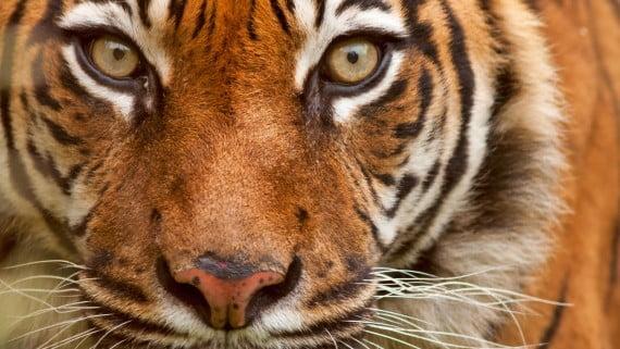 中國傳統中的老虎精神