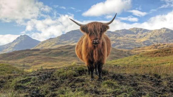 La famosa vaca de las Highlands, Escocia