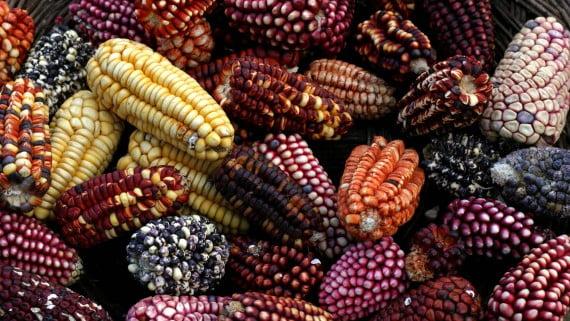 Maïs équatorien
