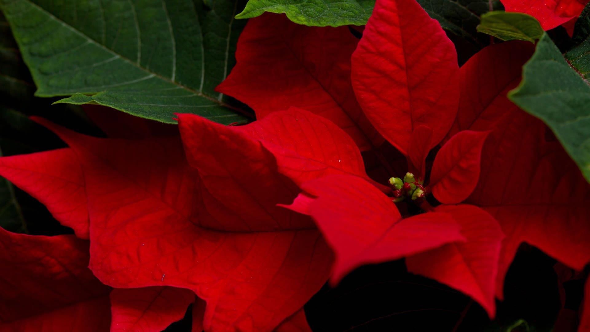 La poisentia o flor de pascua - Imagenes flores de navidad ...