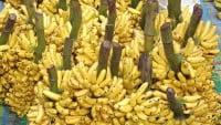 Producción de plátanos en Ecuador