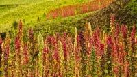 Plantación de Quinoa en Chimborazo, Ecuador