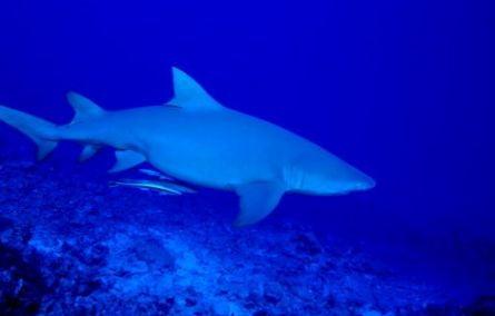 Tiburon de Bora Bora