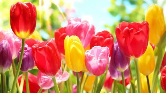 Resultado de imagen para tulipanes Tulipanes Florero con 30 tulipanes Tulipanes 570x321