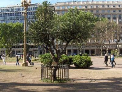 Turismo en Buenos Aires - Olivo Plaza de Mayo