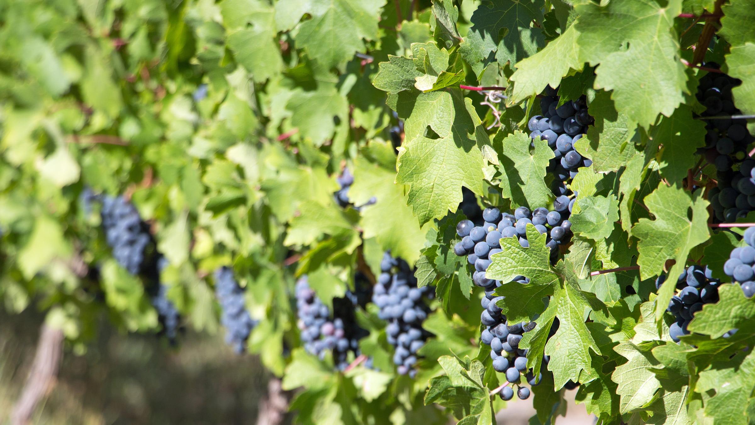 Uvas sudafricanas para Cabernet Sauvignon