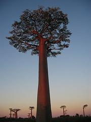 Baobab, Madagascar