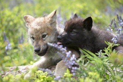 Cachorros de lobo en el césped.