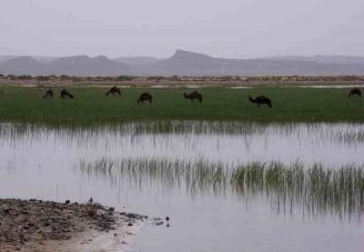 camellos-en-dayet-sjri
