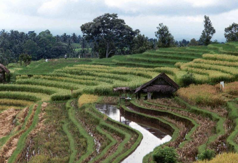 Campos de Arroz, Bali