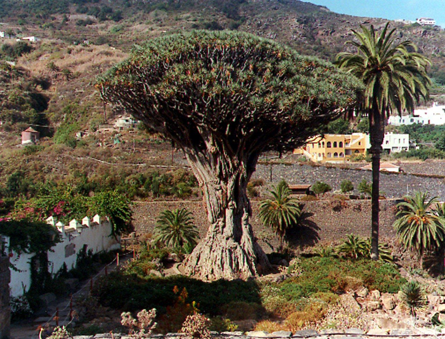 Drago Milenario de Tenerife
