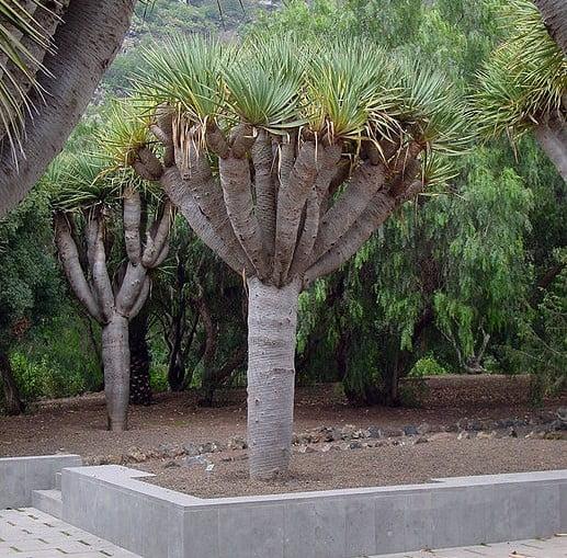 El drago canario for Jardin canario