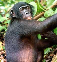 fotos del Congo chimpance