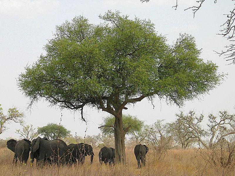 Imágenes de Chad Sabana de acacias del Sahel