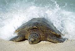 Isla de las Tortugas, Hawai
