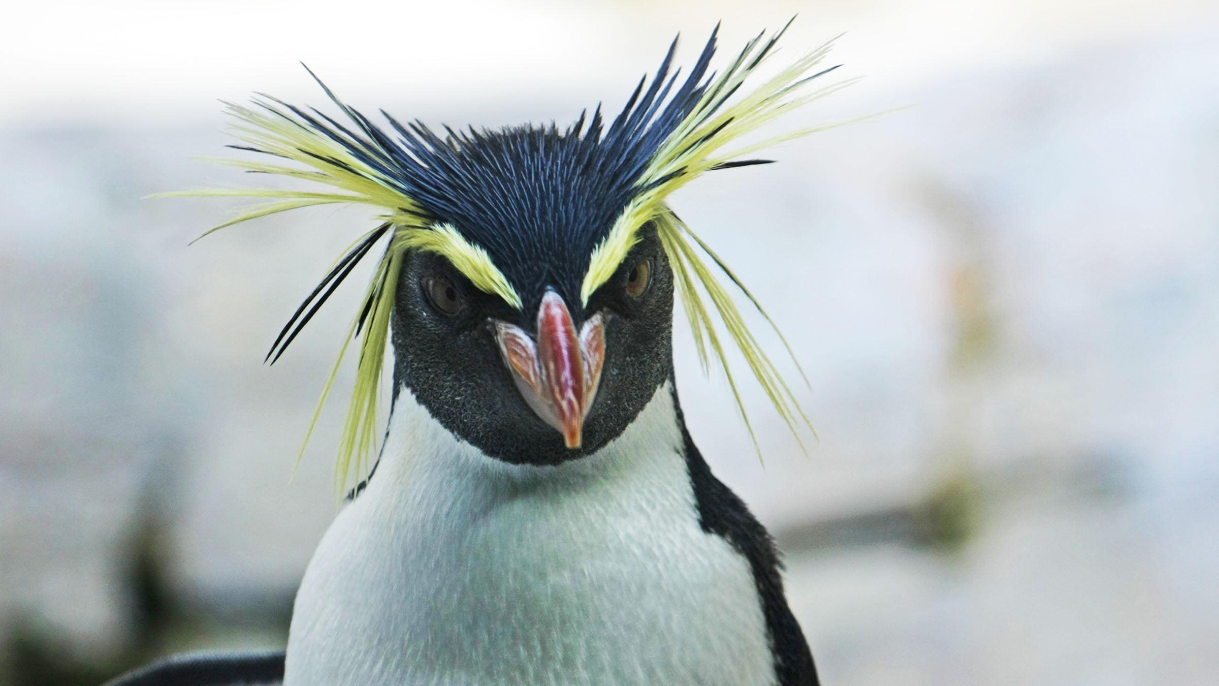Resultado de imagen para pinguino de penacho amarillo peligro de extincion