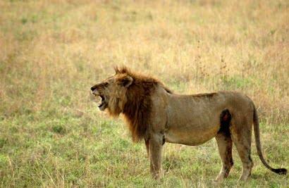 leones safari