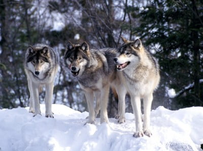 Lobos de Suecia