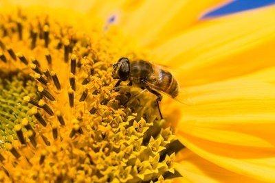 naturaleza viva abejas