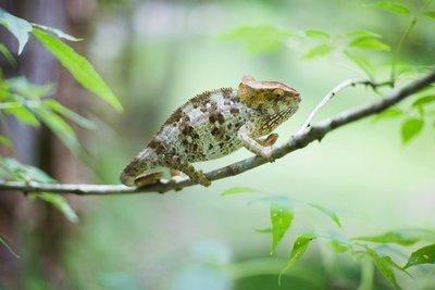 naturaleza viva camaleon