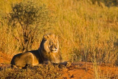 paisajes con animales león