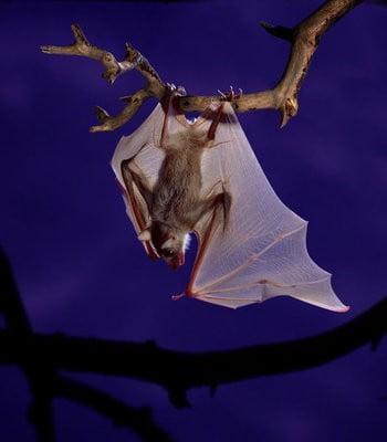 paisajes con animales murciélago