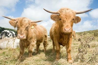 paisajes con animales vacas