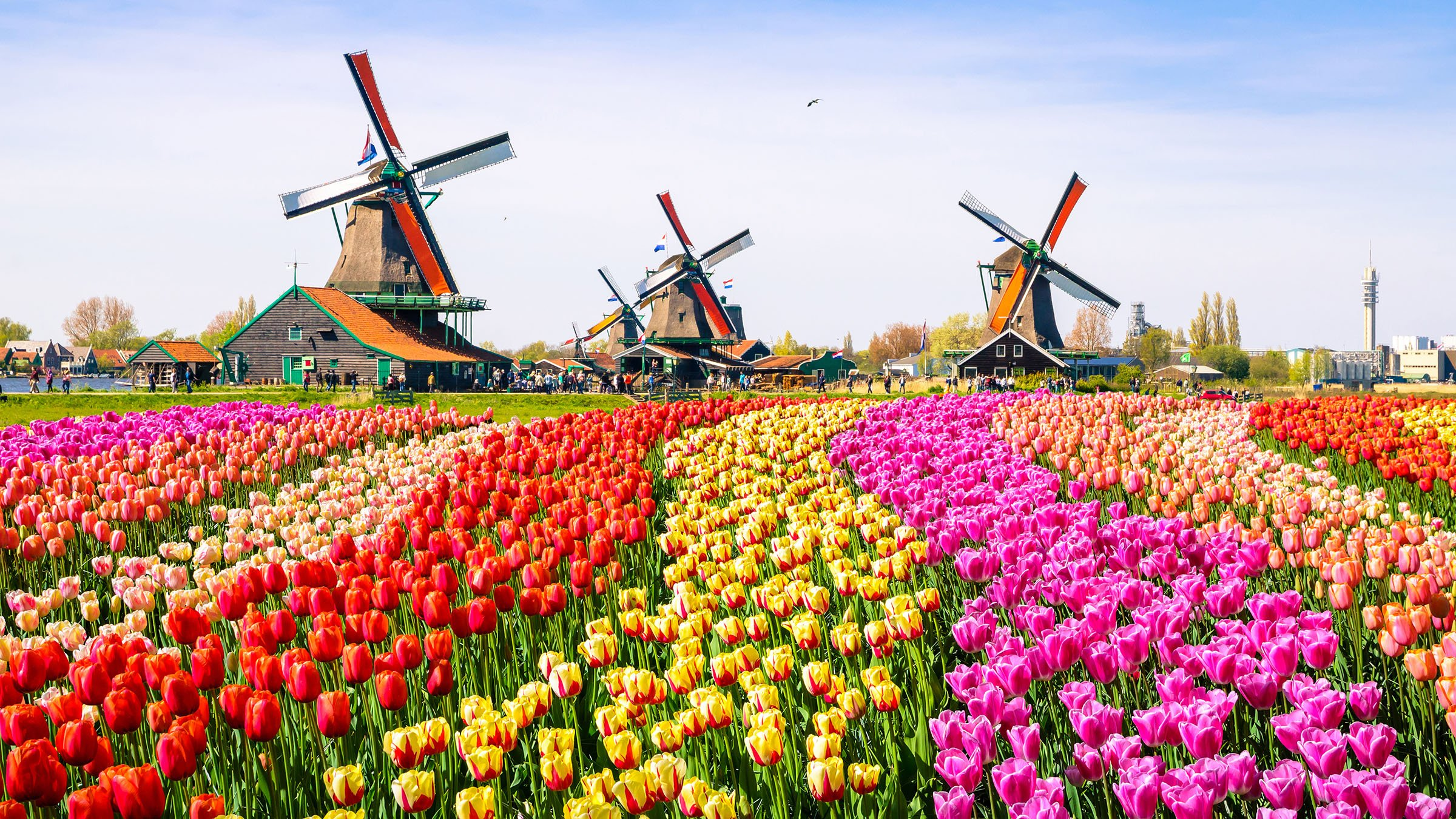 Los coloridos tulipanes en zaanse schans holanda - Jardines de tulipanes en holanda ...