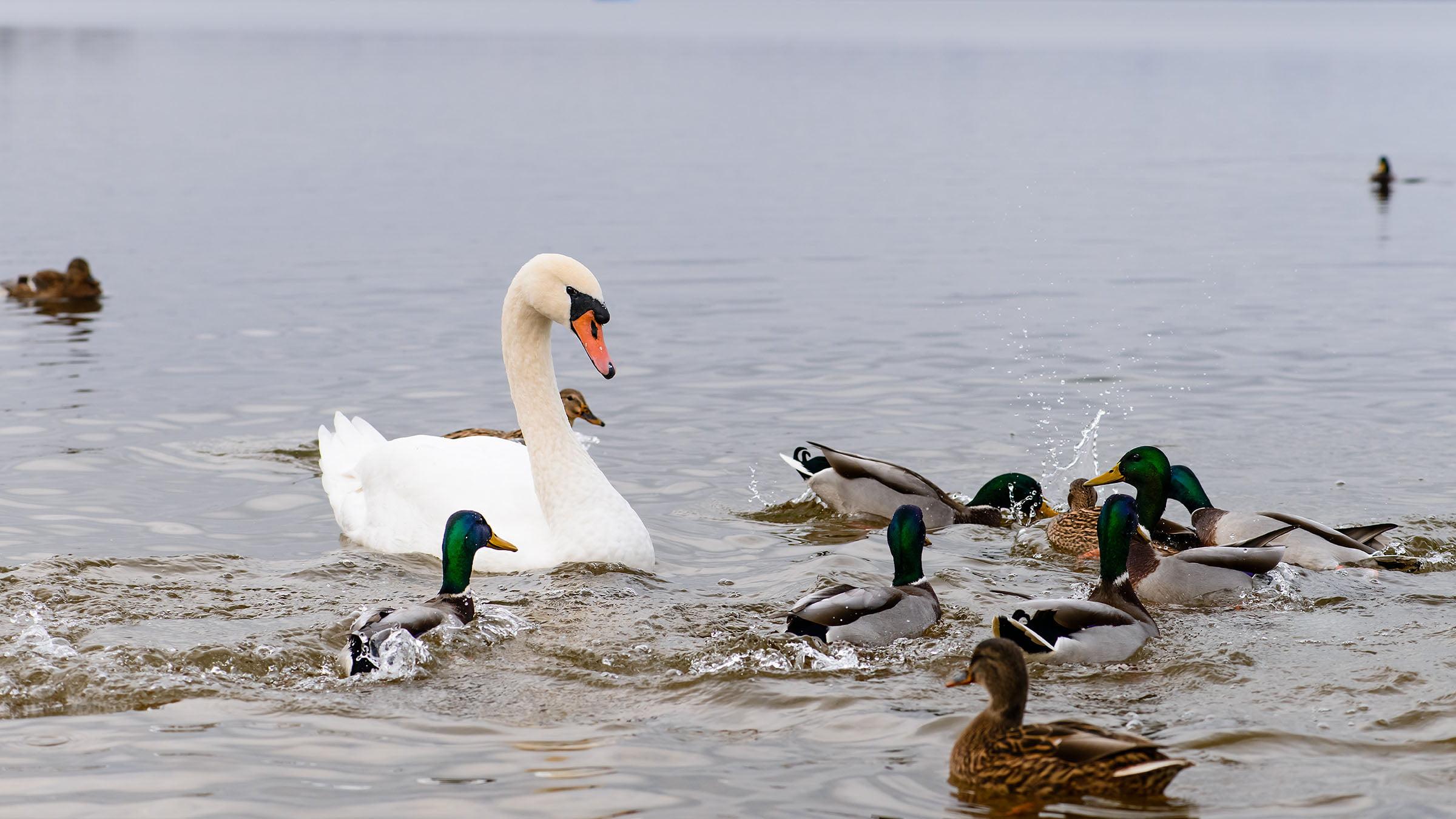 paisajes marinos patos y cisne