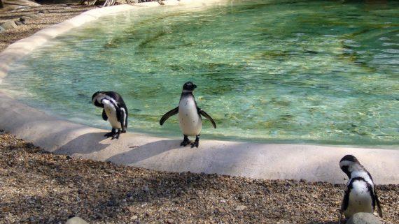 Pingüinos en el Zoo de Londres ZSL