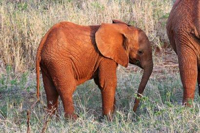safari africano elefante