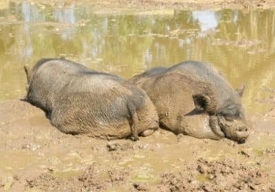 safari vergel cerdos asiaticos