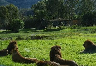 safari vergel leones