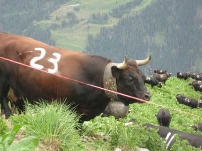 Vacas de Suiza