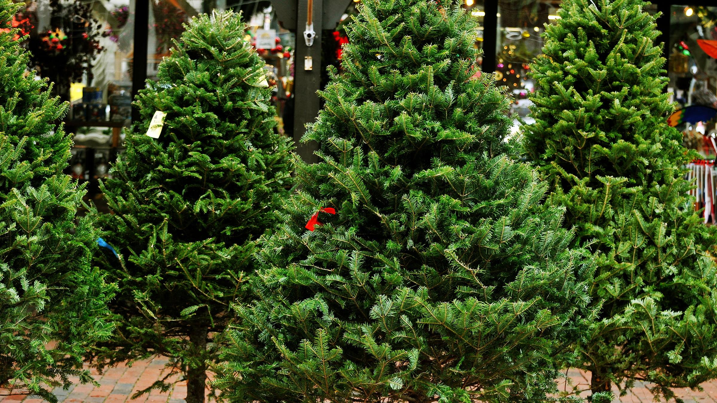 Lugares para comprar rboles de navidad en m xico - Arboles de navidad precios ...