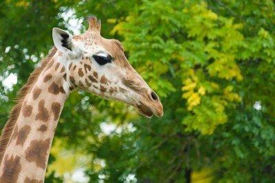 zoo de Lisboa jirafa