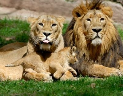zoo de Lisboa leones