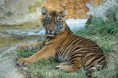 Zoo Santillana del mar tigres